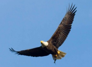 bald eagle- public domain image