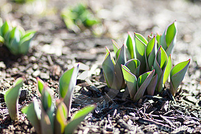 tulips-sprouting-ground-23844638